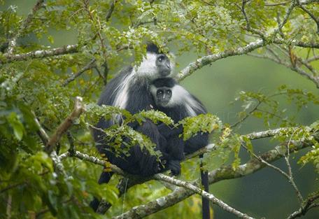 456y_kinigi_monkeys.jpg