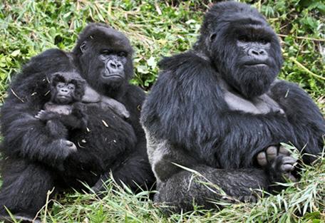 456z_kinigi_gorilla.jpg