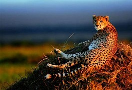 456_easterncape_cheetah.jpg
