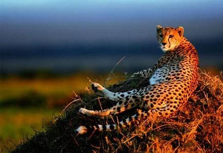 456_easterncape_cheetah.jpg