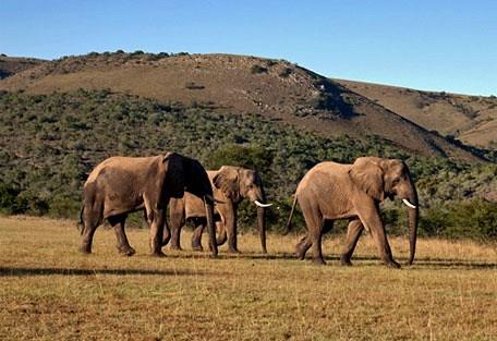 456_easterncape_elephants.jpg