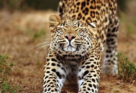456_easterncape_leopard.jpg