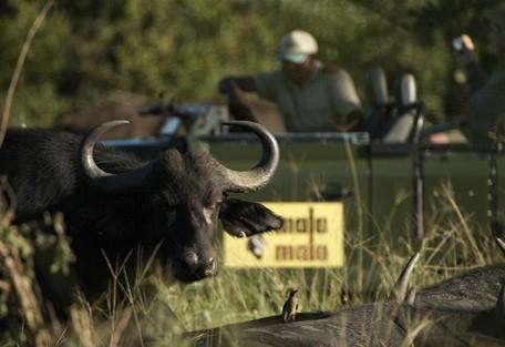 kruger-park-buffalo.jpg