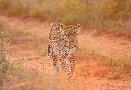leopard-dusk.jpg