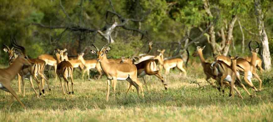balule-impala.jpg