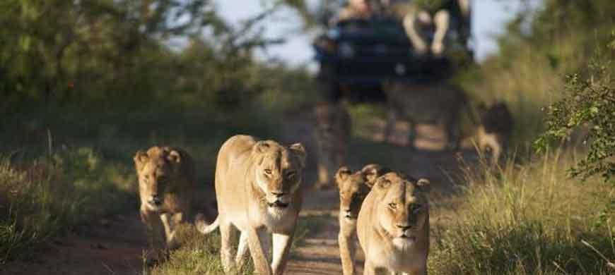 kapama-lioness-walking.jpg