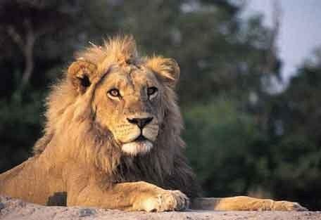 8-lion-jock.jpg