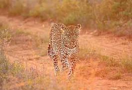 lsunsafaris-leopard-dusk.jpg