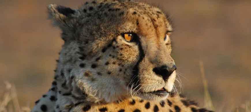manyeleti-cheetah.jpg