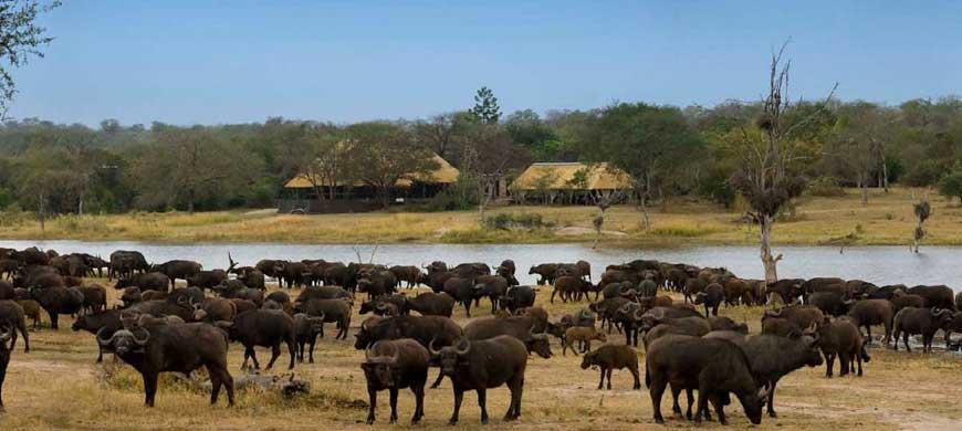 sunsafaris-chitwa-chitwa-buffalo.jpg
