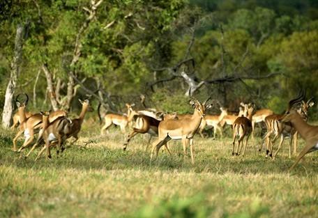 6-impala.jpg