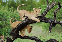 1-lion-cub-motswari.jpg