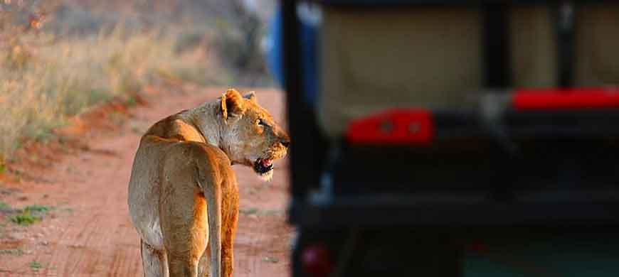 lioness-motswari.jpg