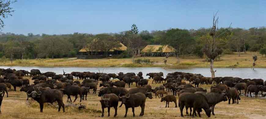 kruger-national-park-buffalo-chitwa.jpg