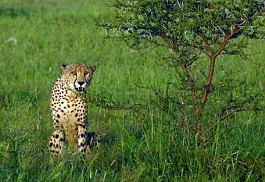 456_mkuzefalls_cheetah.jpg