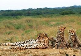 456_phinda_cheetahs.jpg