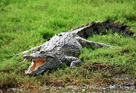 456_pongola_crocodile.jpg