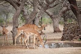 456_ubizane_antelope.jpg
