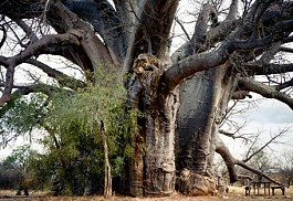 456a_limpopo_baobab2.jpg