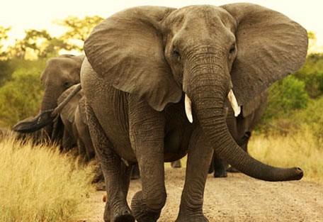 456b_limpopo_elephant.jpg