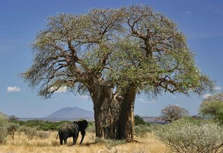 456e_limpopo_baobab.jpg