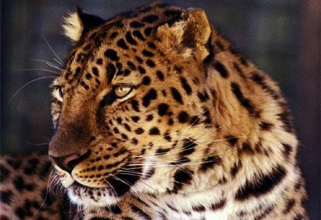 456f_limpopo_leopard.jpg