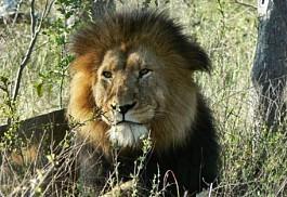 01-lion.jpg