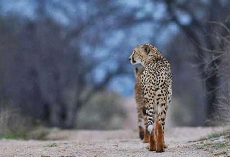 456_makalali_cheetah.jpg