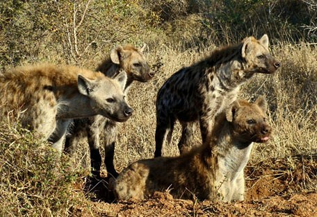 456_makalali_hyena.jpg