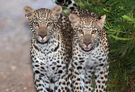 456_makalali_leopard.jpg