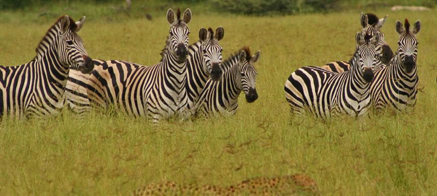 870_makalali_zebras.jpg