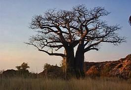 456_mapungubwe_baobab.jpg