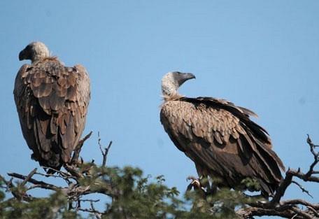 456_waterberg_vultures.jpg