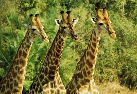 456_mabalingwe_giraffe.jpg