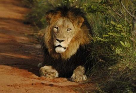 456_welgevonden_lion.jpg