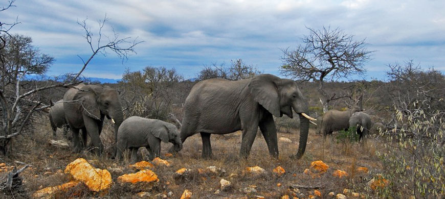870_limpopo_elephants.jpg