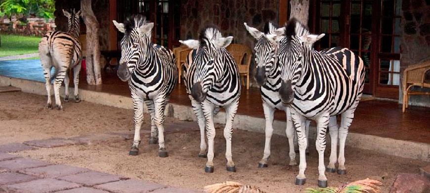 Zebras-Blyde-River-Lodge.jpg