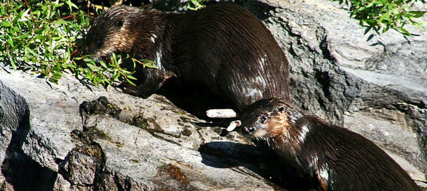 3---Otters-On-Bank.jpg