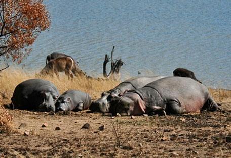 456_pilanesberg_hippos.jpg