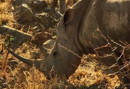 456_pilanesberg_rhino.jpg
