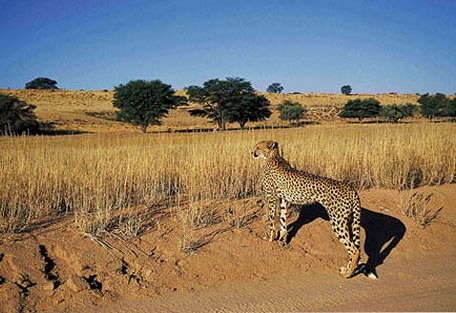456_kalahari_cheetah.jpg