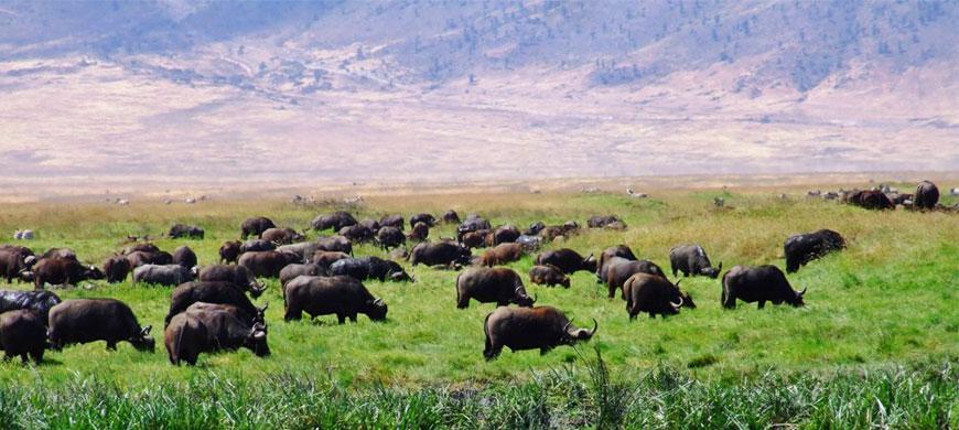 buffalo_hippo.jpg