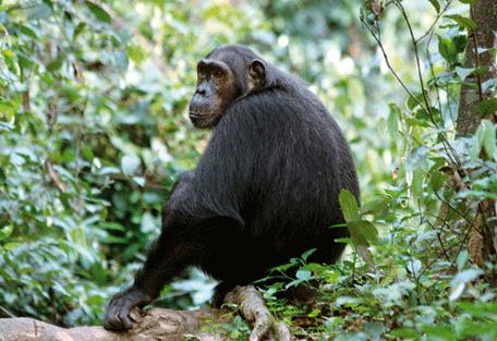 456_gombestream_chimp.jpg