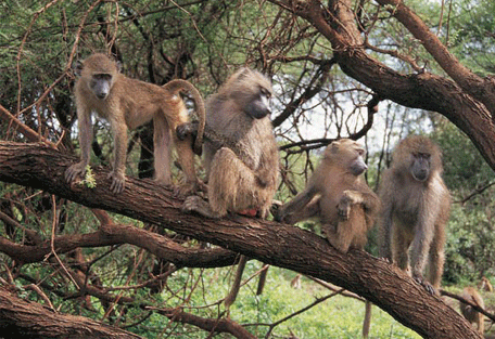 456_gombestream_baboons.jpg