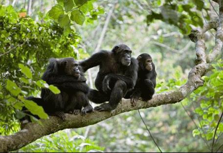 456_gombestream_chimps.jpg