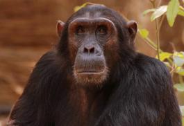 456_gombeforest_chimp.jpg