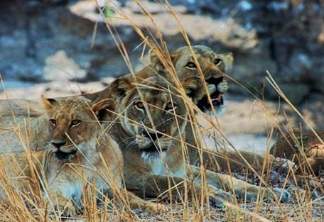 a01-lions-in-tree.jpg