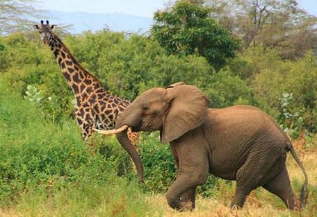 ele_giraffe.jpg