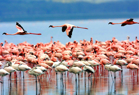 456h_lemala-manyara-game-flamingos.jpg