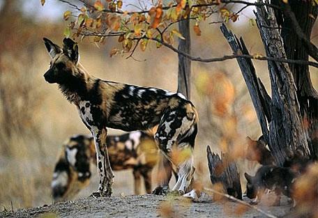 african-wild-dogs.jpg
